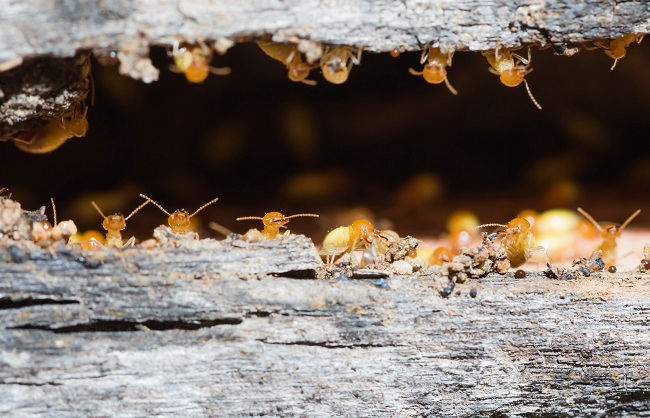 Regular Termite Inspections & Treatments