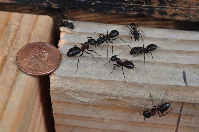 Identifying and Controlling Carpenter Ants