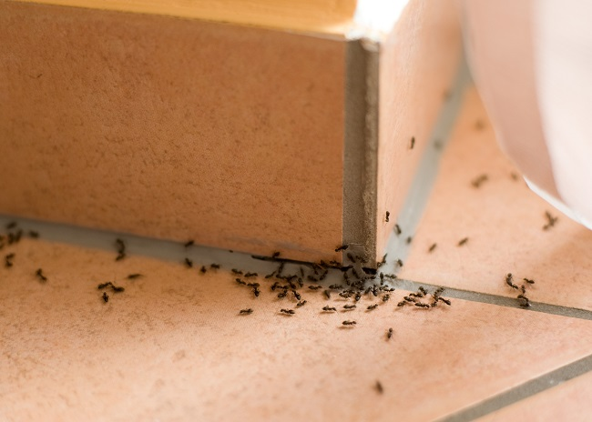 Getting Rid of Ants at Home