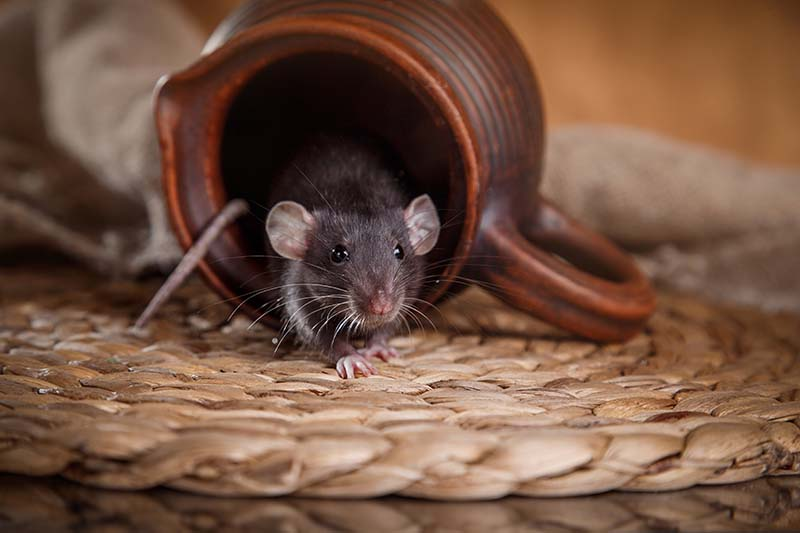 Rodents - A Mouse in Your House